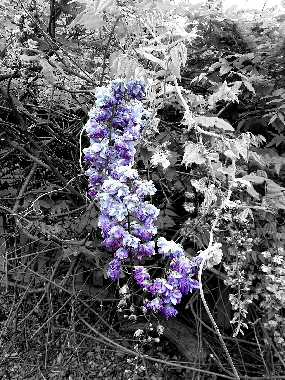 blackandwhite, color, purple - therealfuzz | ello