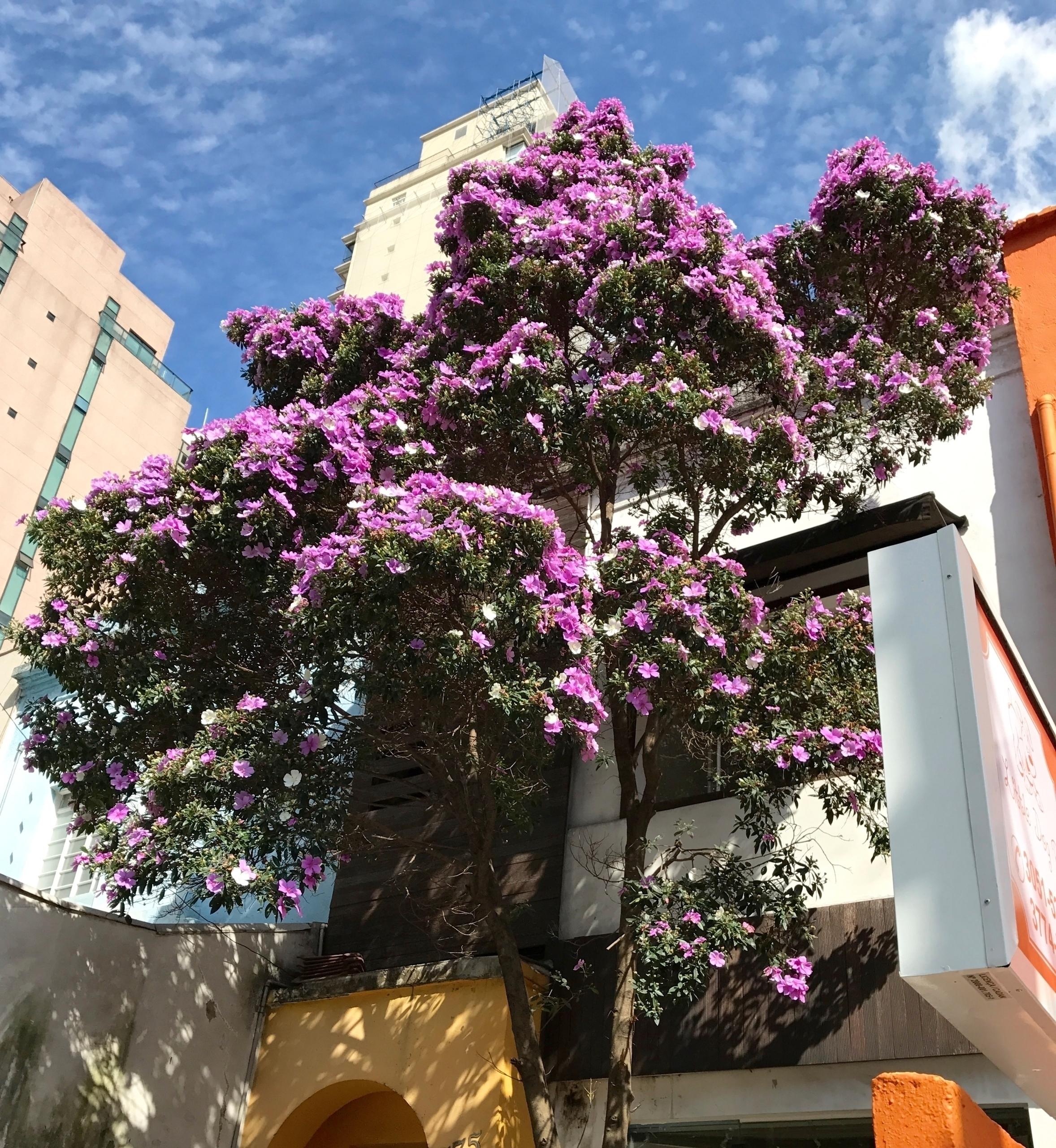 Florada de manacá-da-serra (Tib - antoniomg | ello