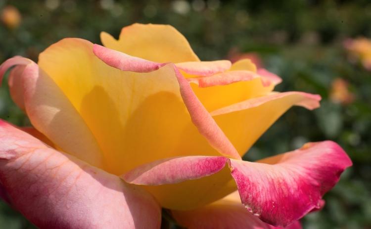 Rose de sensualité... jaune sol - gclavet | ello