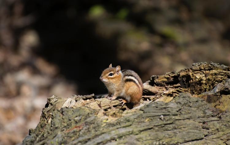 guy curious doings - wildlife, chipmunk - canadianrambler | ello
