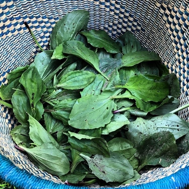 Plantain harvested organic farm - rootedearthfarm | ello