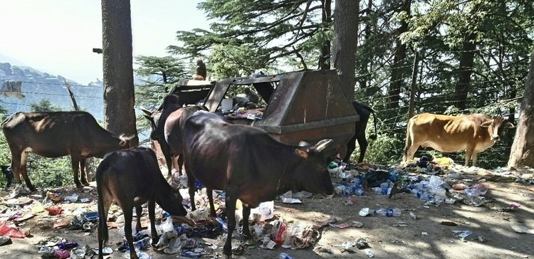 Cows sacred India. eat kill mil - storyteller_eddy | ello