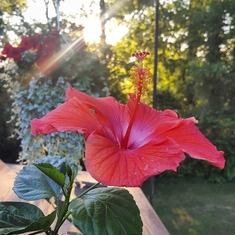 hibiscus full bloom brightening - grayvervain | ello