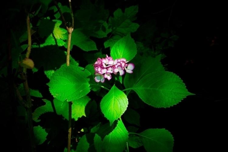 Hydrangea, shade - mamimumemami | ello