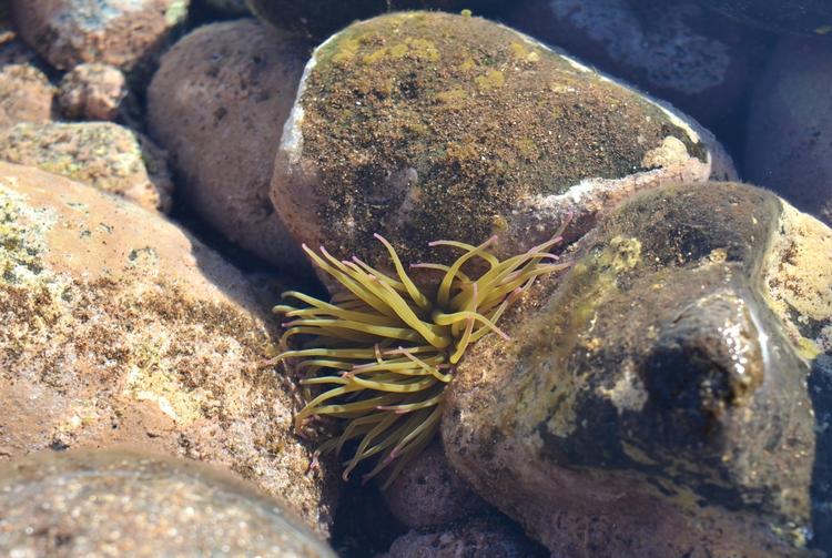 Anemona Madeira - euric | ello