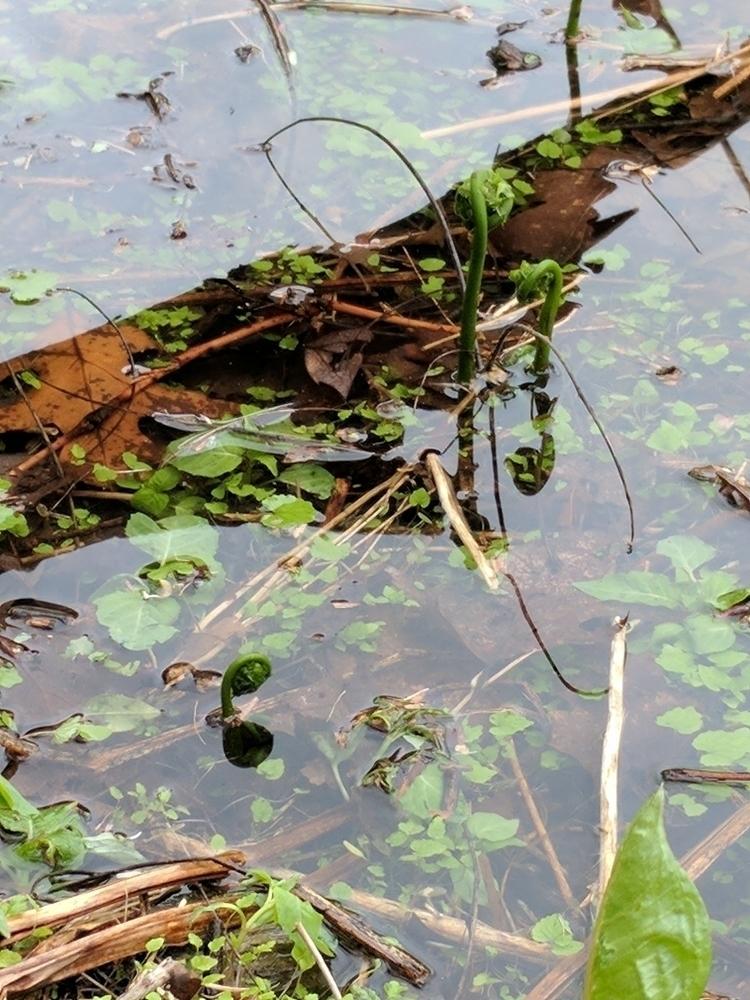 Fiddleheads submerged. glassy w - skin_patina   ello