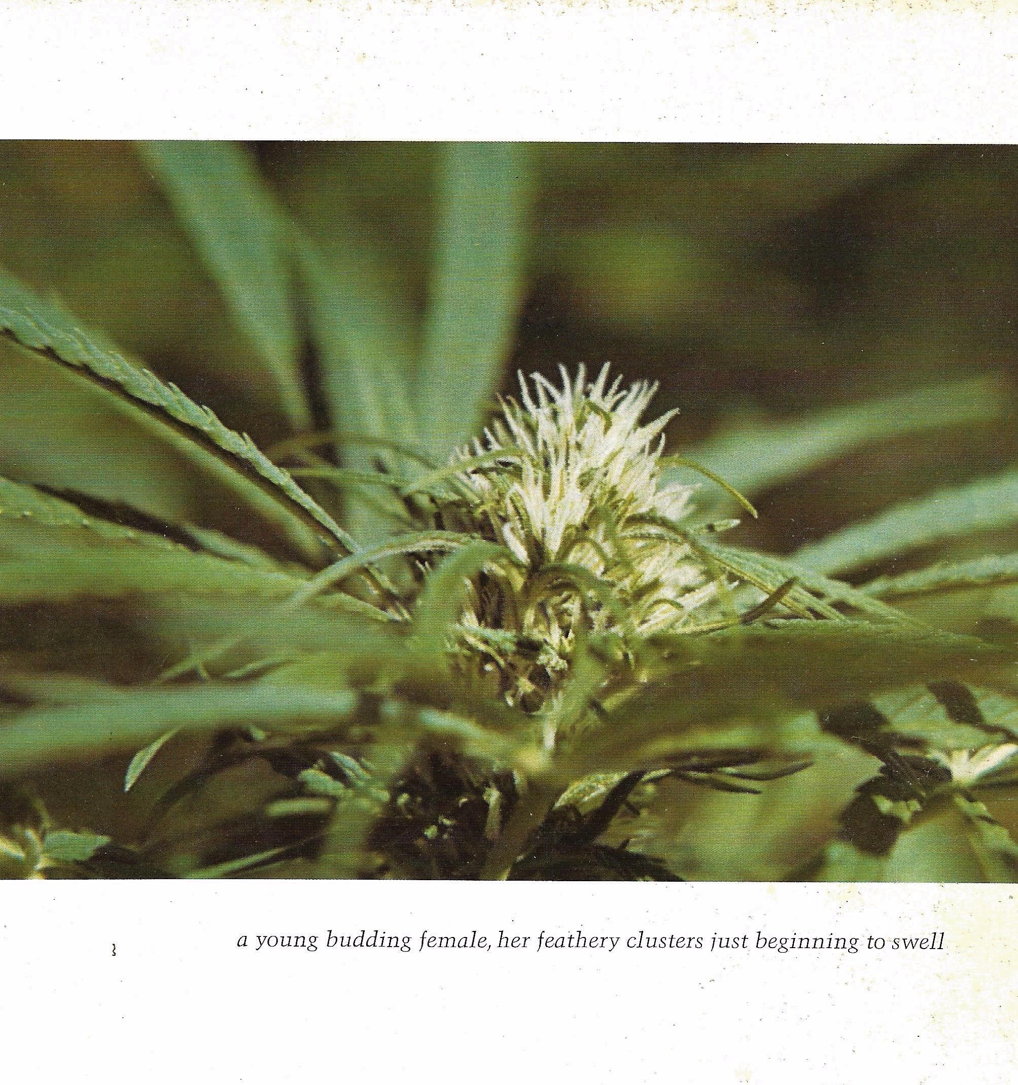 cannabis, ellocannabis, Hatun - ellocannabis | ello