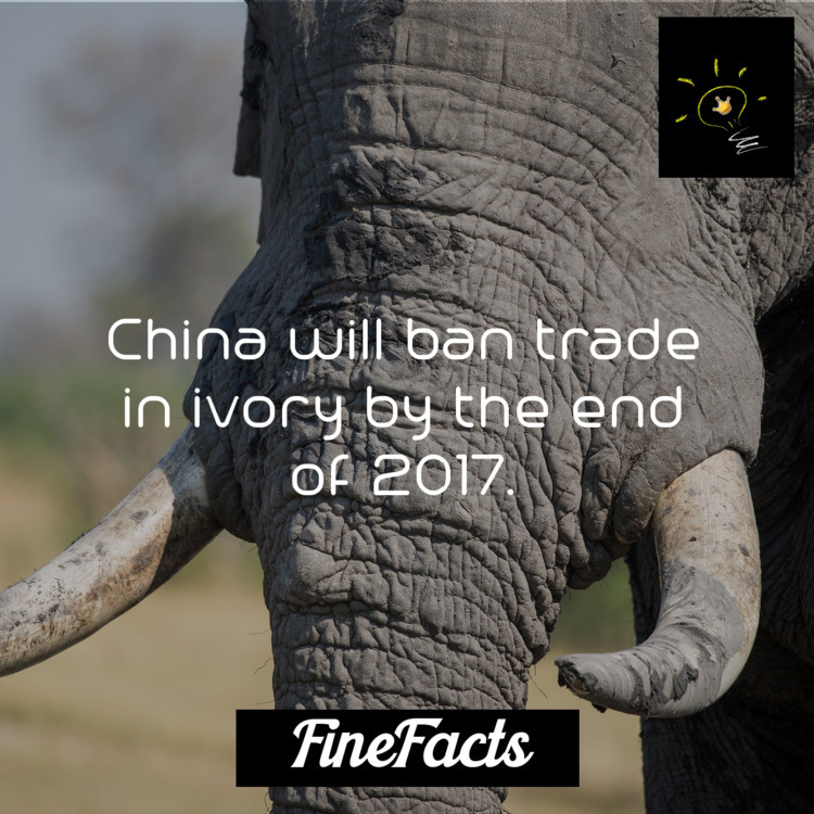 China ban trade ivory 2017 - finefacts | ello