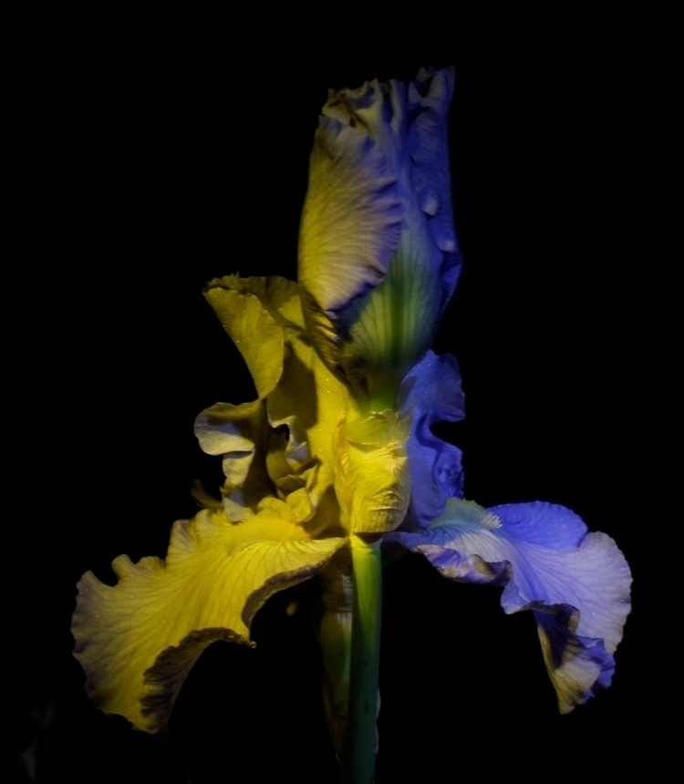 Iris Face - photography, flower - texaschris13 | ello