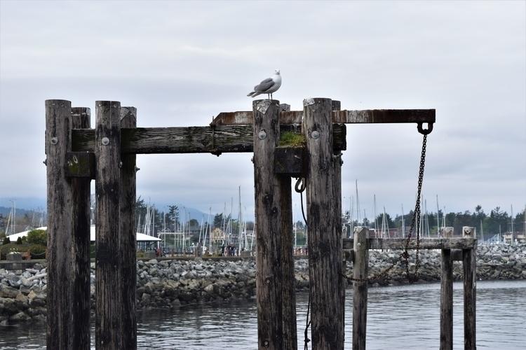 BC, Sidney, seagull, beach - edwardli | ello