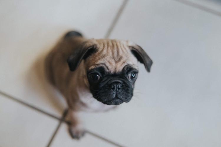 Pickles Pug - pug, dog, ello, puppy - kellyjudd | ello
