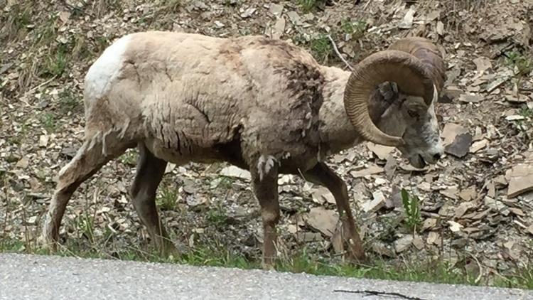 zoom - WildLife, Banff, Jasper, driveBC - spiketwopointo | ello