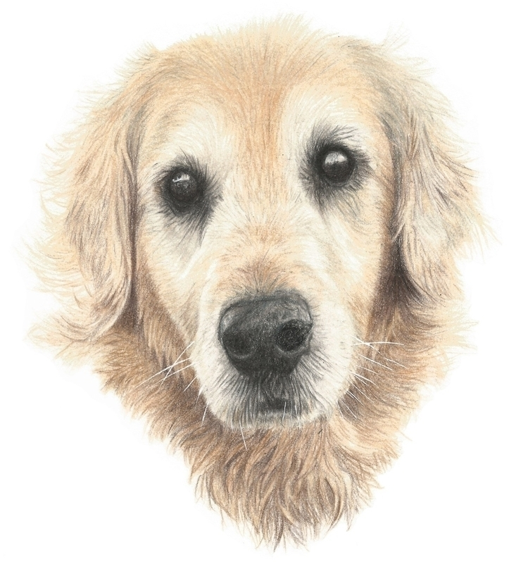 Beautiful Golden Retriever drew - kim_carter_art | ello