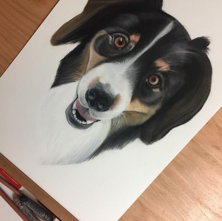 WIP pet portrait  - pastel, pastelportrait - shannonbergart | ello