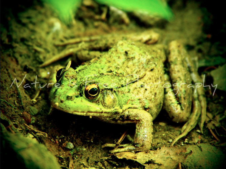 Green Frog species frog native  - natureisfree | ello