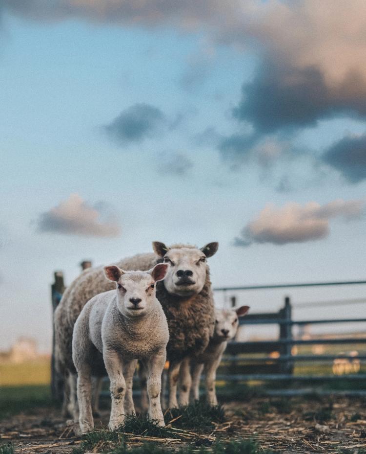 farmer sold sheep. weight sheep - klaasphoto | ello