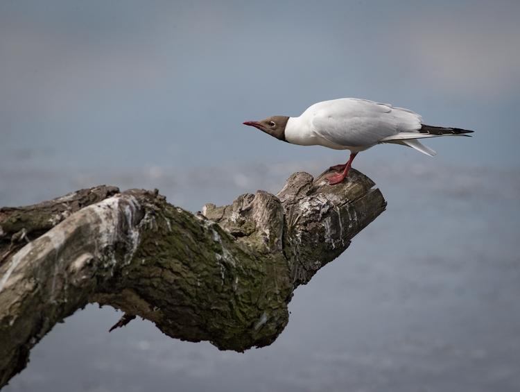 calling bird twig - bradverts | ello