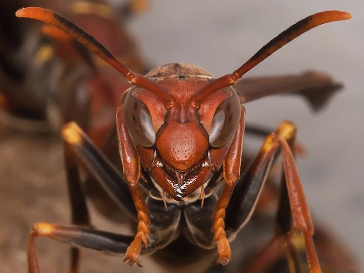Wasp - buratto | ello