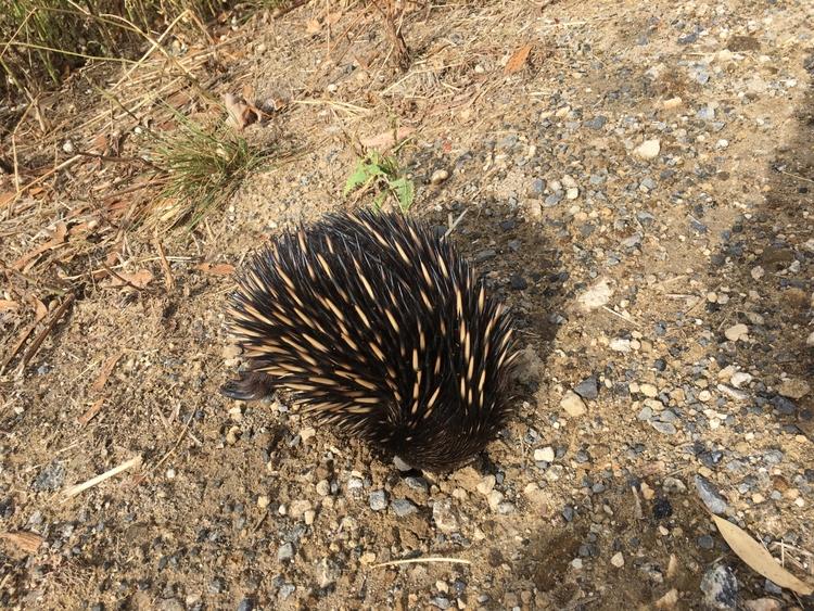 Super rare marsupial ecidina Au - bilbycoote | ello