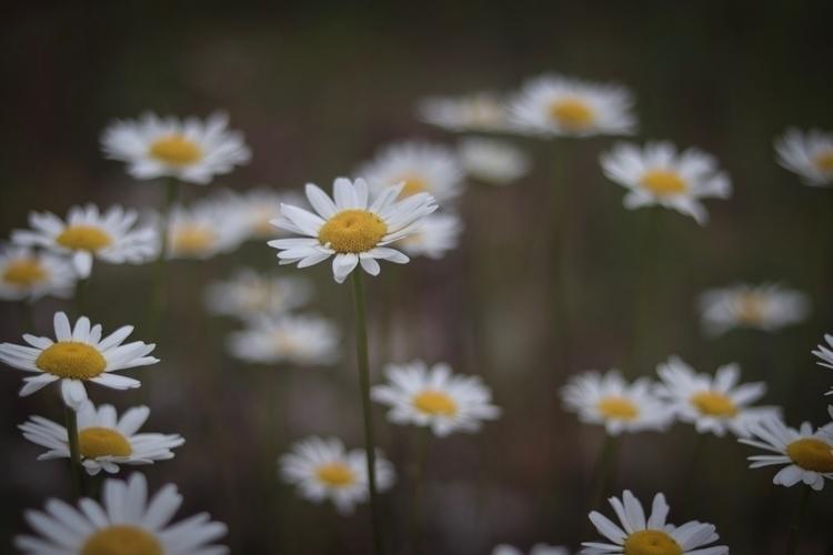 Beautiful daisies. love summer - willowstyleco | ello