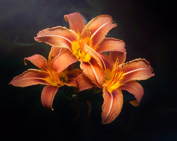 simple trio lilies shot warm su - scottnorrisphotography | ello