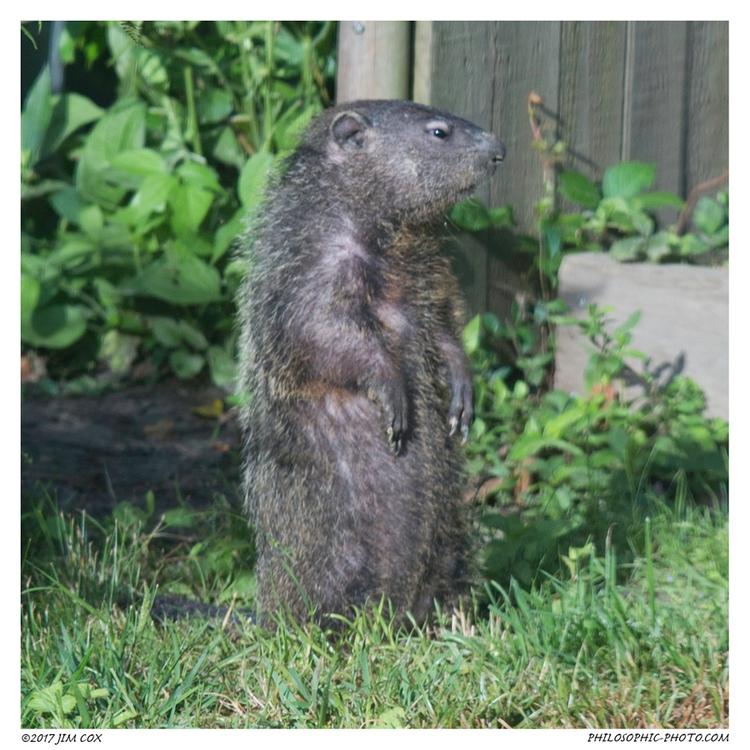 doin - groundhog, whistlepig, urbanwildlife - jascox | ello