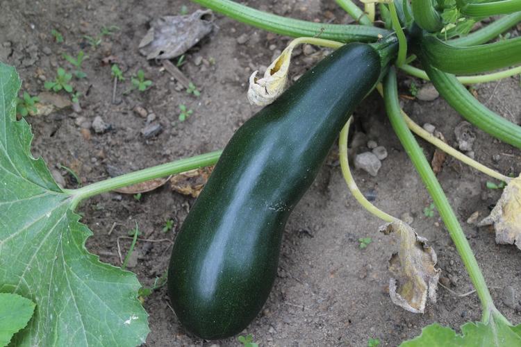 start harvesting zucchini. big  - ejfern28 | ello