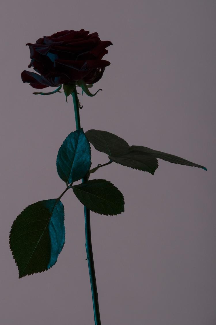 Rose - nikon, D810 - batdepat | ello