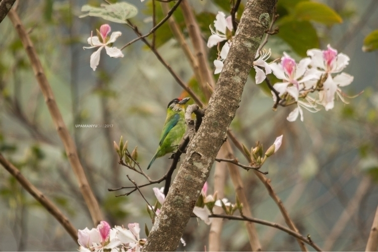 Golden-throated Barbet. Kanchen - upamanyu | ello