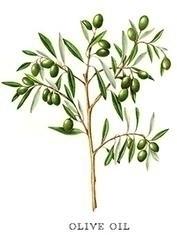 El aceite de oliva // Hipócrate - apotecarix | ello