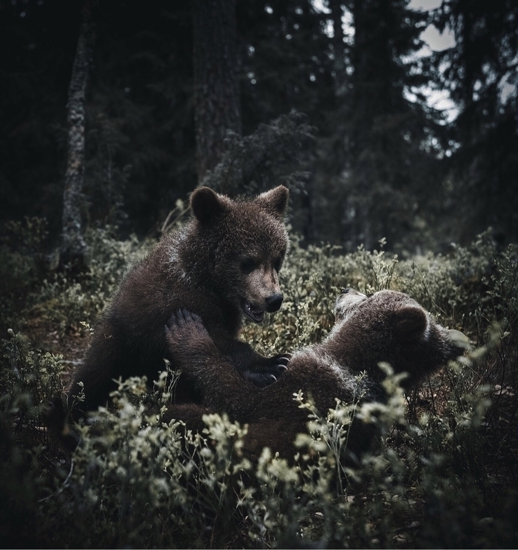 young bear cubs argument 5-6 mo - stiannorum | ello