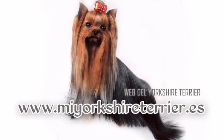 Todo lo necesitas saber para da - yorkshireterriers | ello