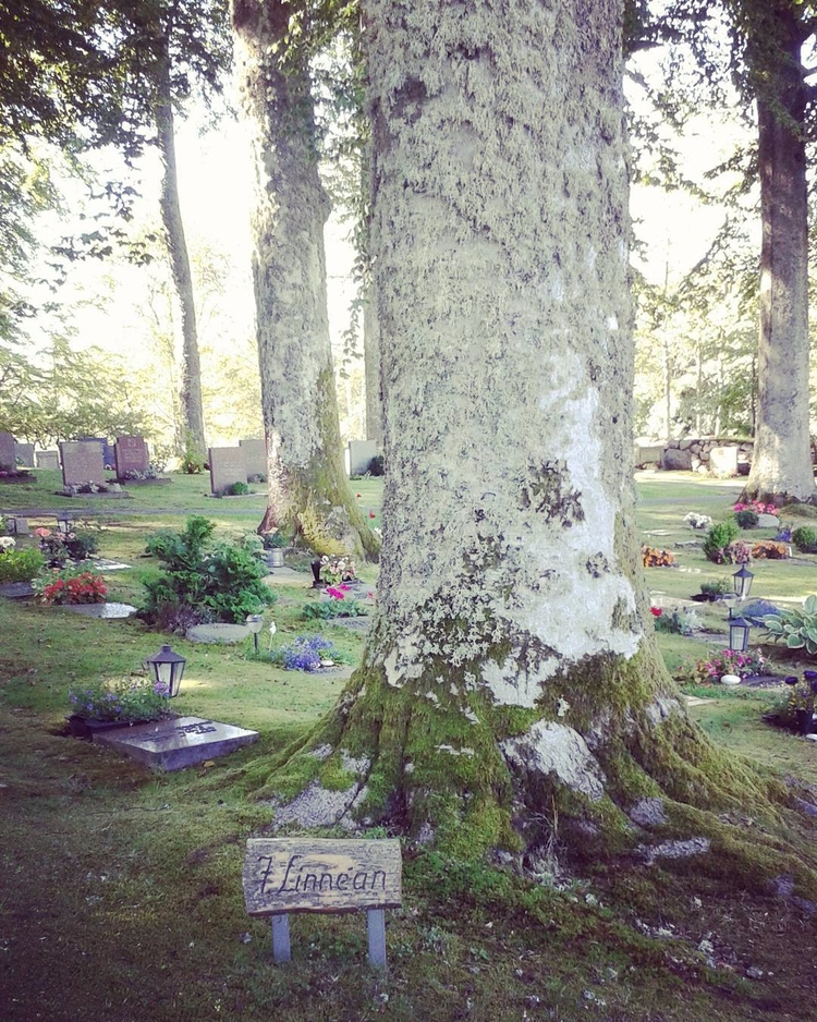En av de äldsta Bokarna på Skog - skogskyrkogardar   ello