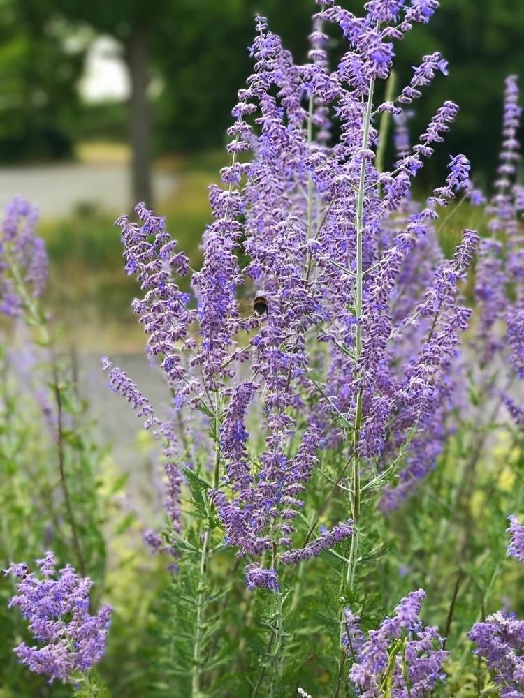 Bee Lavender (Wat Tyler country - paulbines | ello