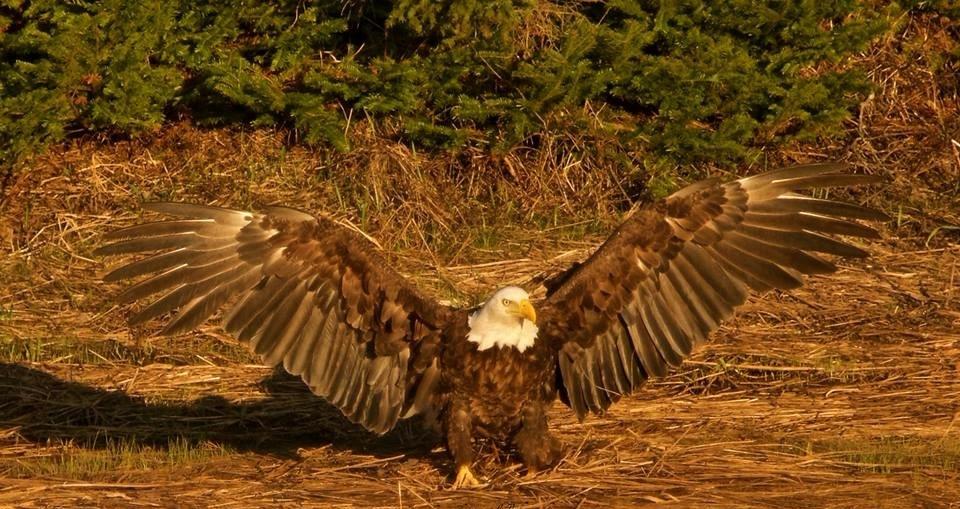 eagle - tbiveteran | ello