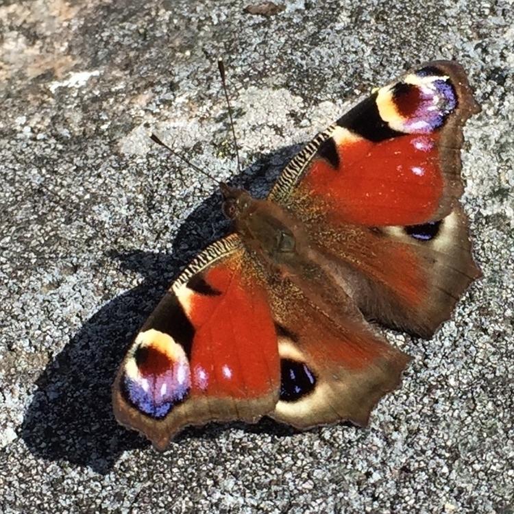 Påfågelöga - butterfly - hexica | ello