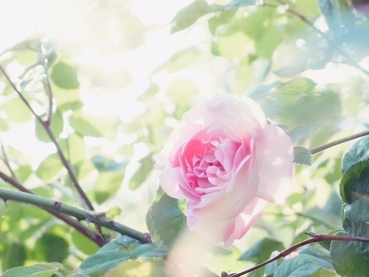 Sunbeams - rose, flower, blossom - andreigrigorev | ello