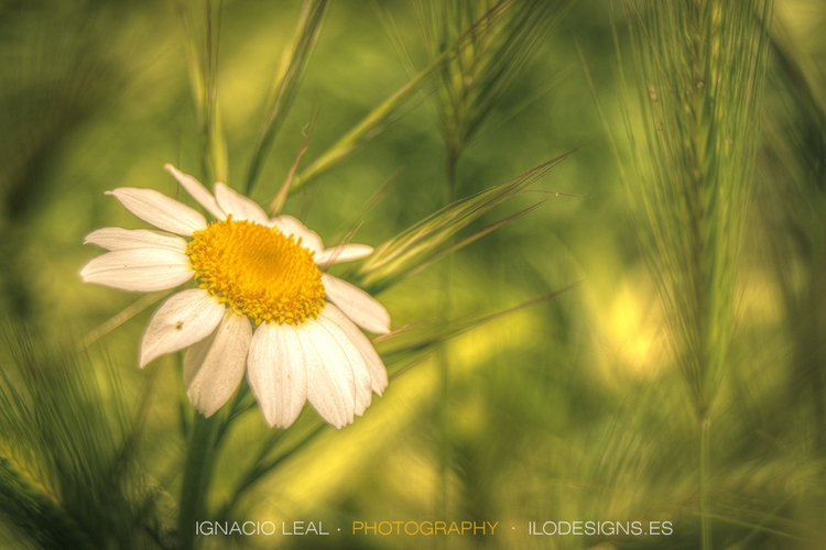 lone daisy. Nature photography - ignacioleal | ello