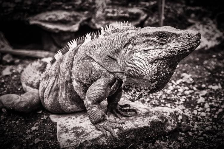 Fat Lizard iguana basks sun May - mattgharvey | ello