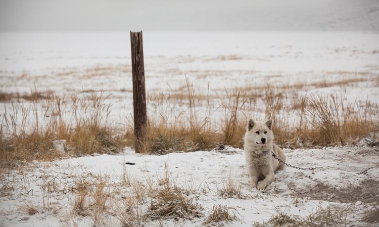 Huskies Greenland, Kangerlussua - carolinegreg | ello
