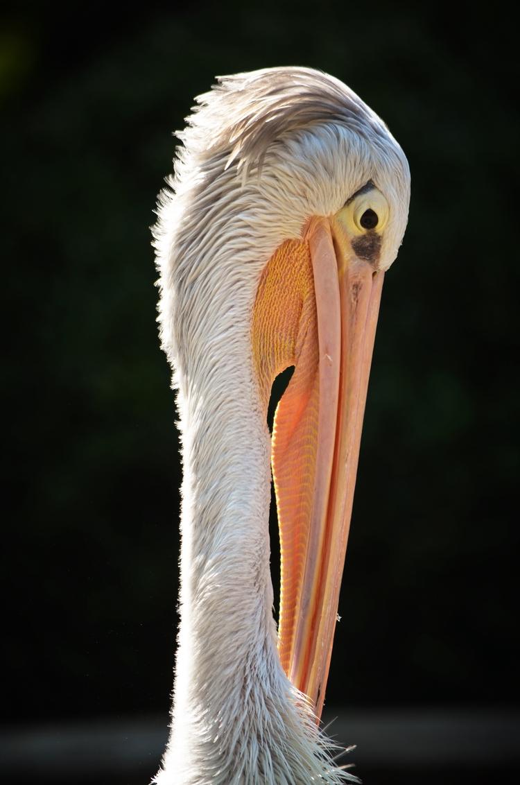 majestic, pelican, bird, nature - wh04m1 | ello
