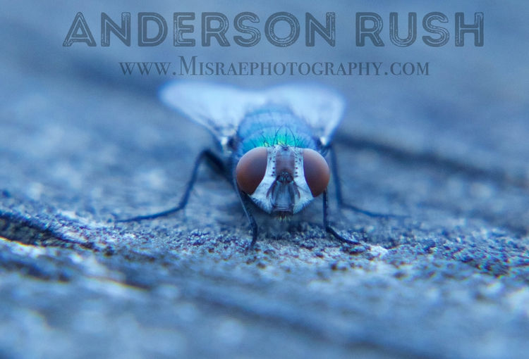 Flyboy - insects, macro, 50mm - misraephotography | ello