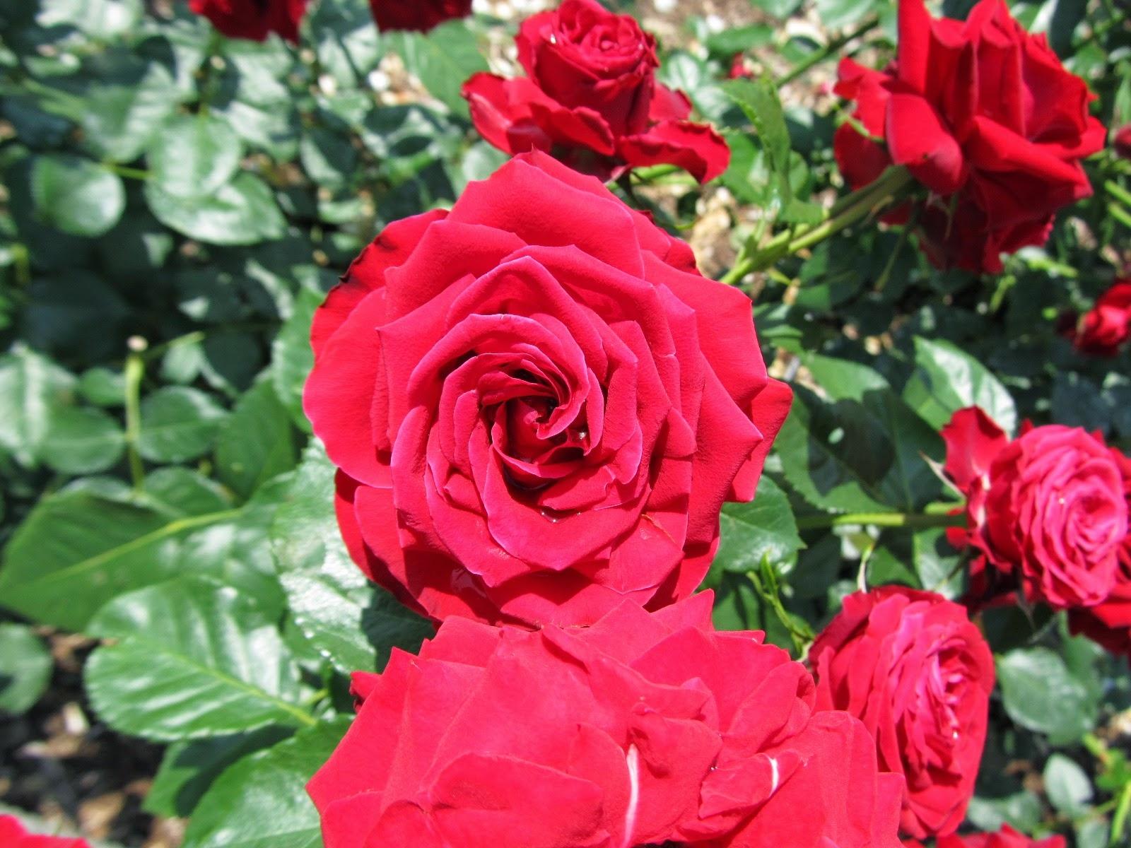rose, flower, photography, nature - sanftekuss | ello