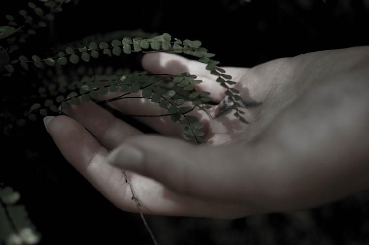 { } Maidenhair spleenwort - maidenhair - blackwyrt | ello
