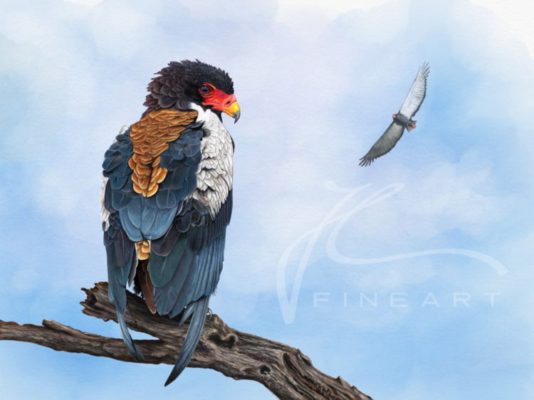 Bateleur Eagle. challenging pie - j-l-fineart | ello