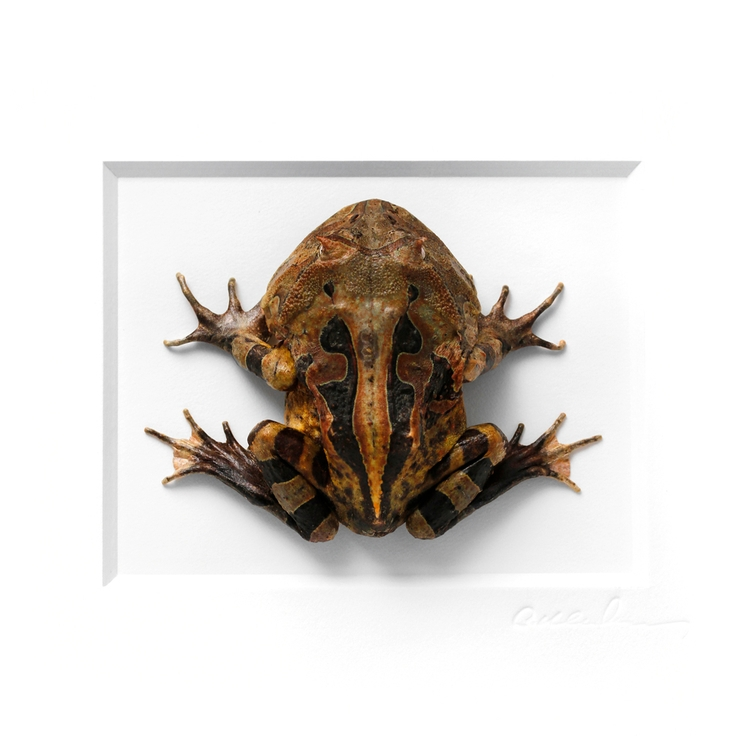 11x11 Amazonian Horned Frog. op - christophermarley | ello