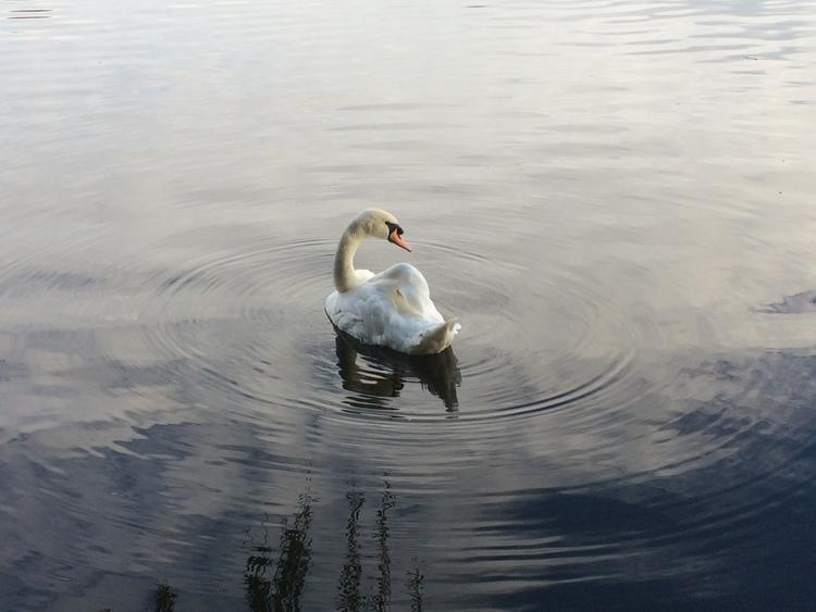 Swan zone - lilibethsings | ello
