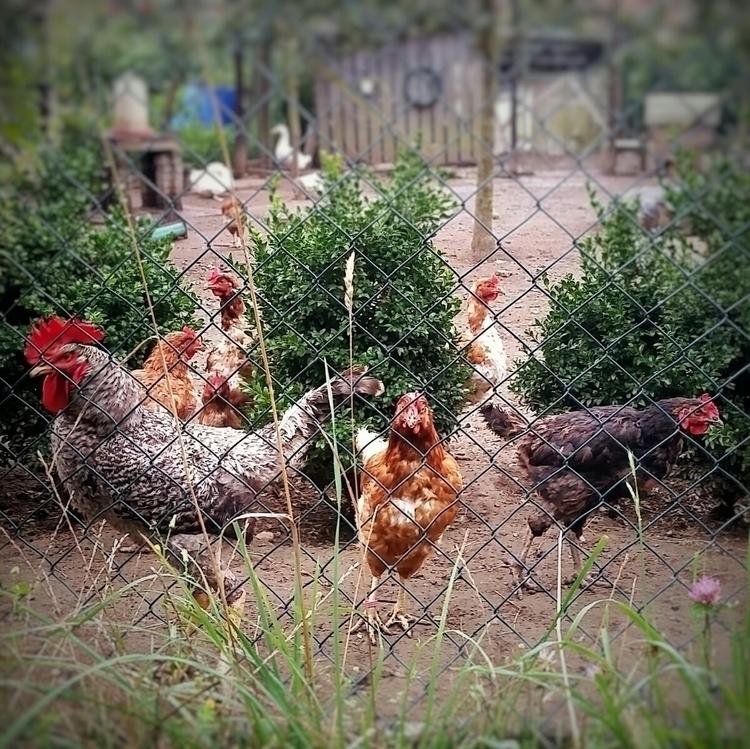 Happy chickens...  - villagelife - aleksaleksa   ello