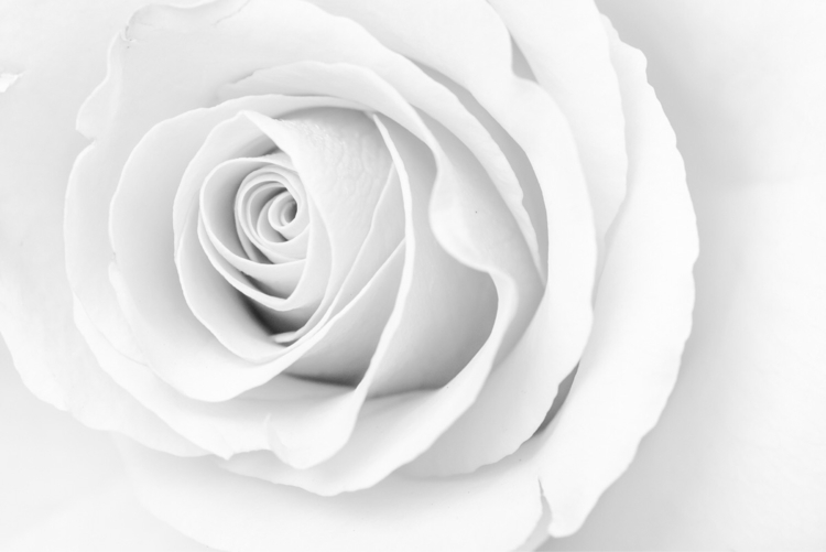 White Rose  - rose, studiophotography - networkabstracted | ello
