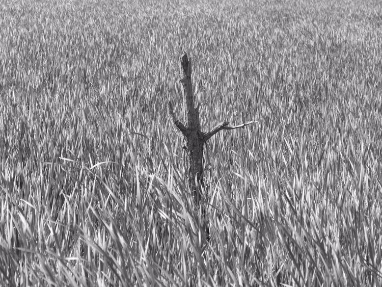 Swamp Snag - Rolf Olson - blackandwhite - thepoetsdoor | ello